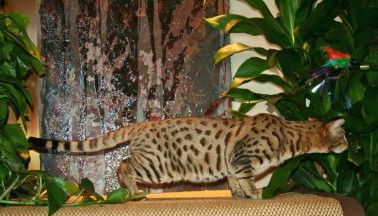 savannah cat breed studs