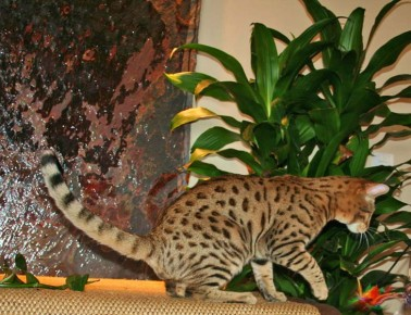 savannah studs owned by select exotics