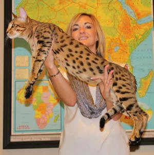 exotic cats for sale like gibson