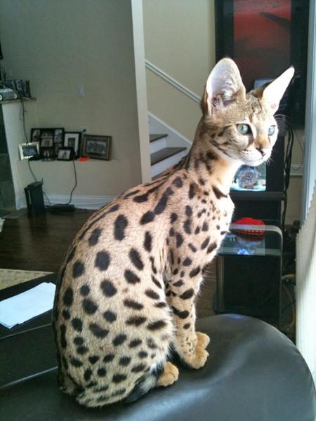 Ika Savannah Cat Select Exotics