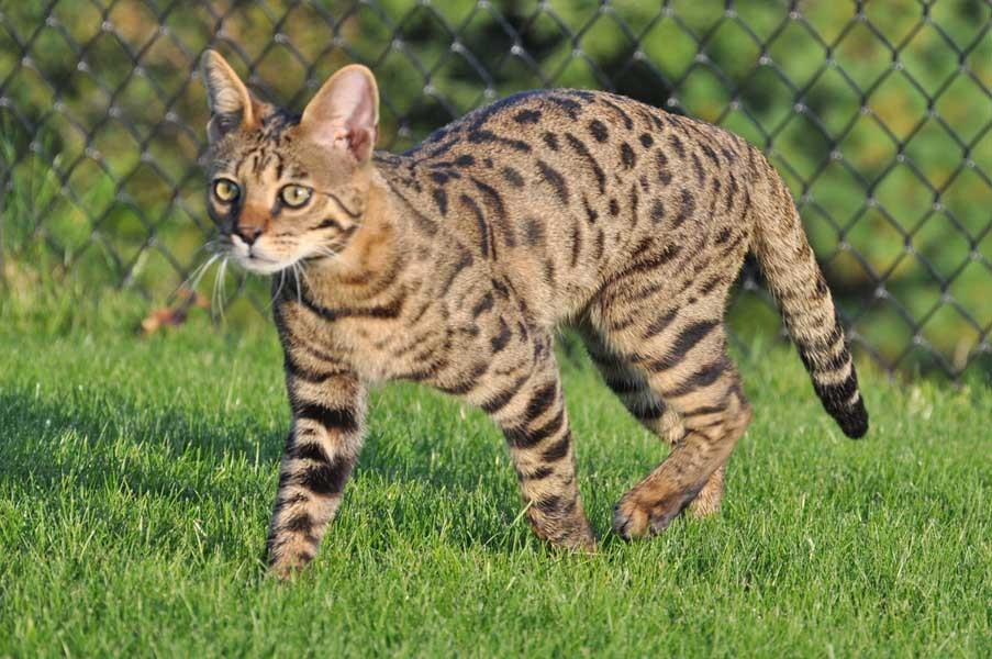 F Savannah Cat Video