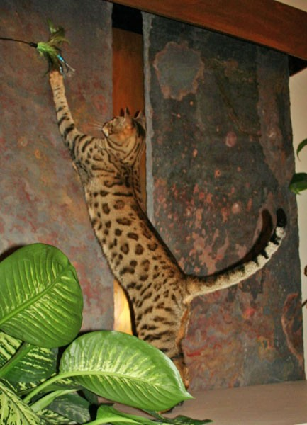 savannah studs that make exotic cats for sale