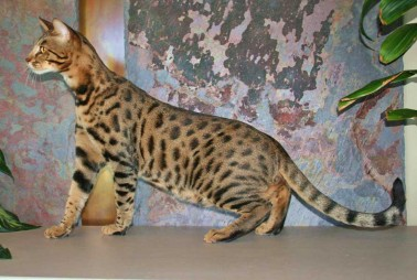 exotic cats for sale on savannah cat breed