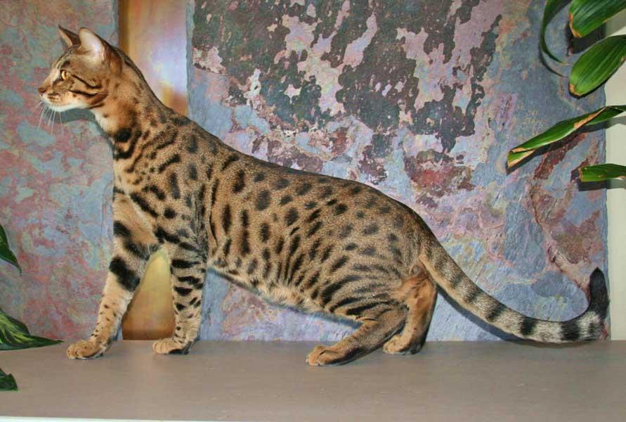Exotic Felines for Sale | Savannah Cat Breed
