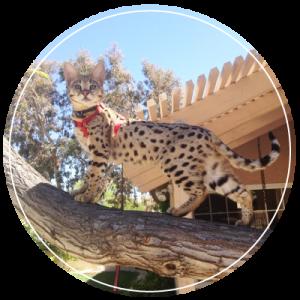 select exotics - the best savannah cat breeder