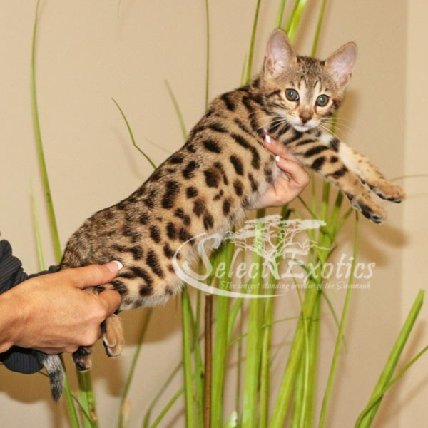 F3 Savannah kitten for sale