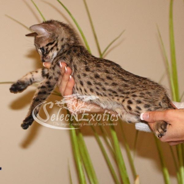 F4 Savannah Kitten for Sale