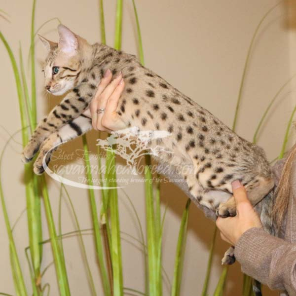F4 Savannah Kitten for sale