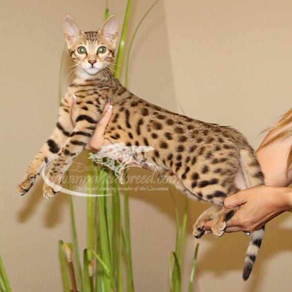F3 Savannah Kittens for Sale | Savannah Cat Breed