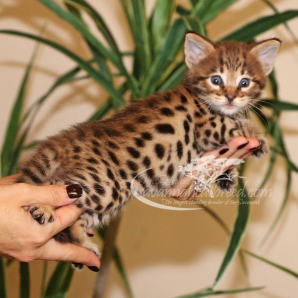 F2 Savannah kitten for sale