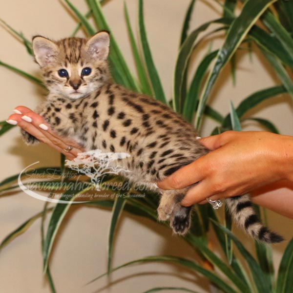 F1 Savannah Kittens For Sale Savannah Cat Breed