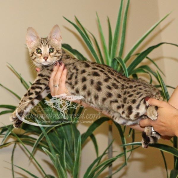 F2 Savannah kitten for sale
