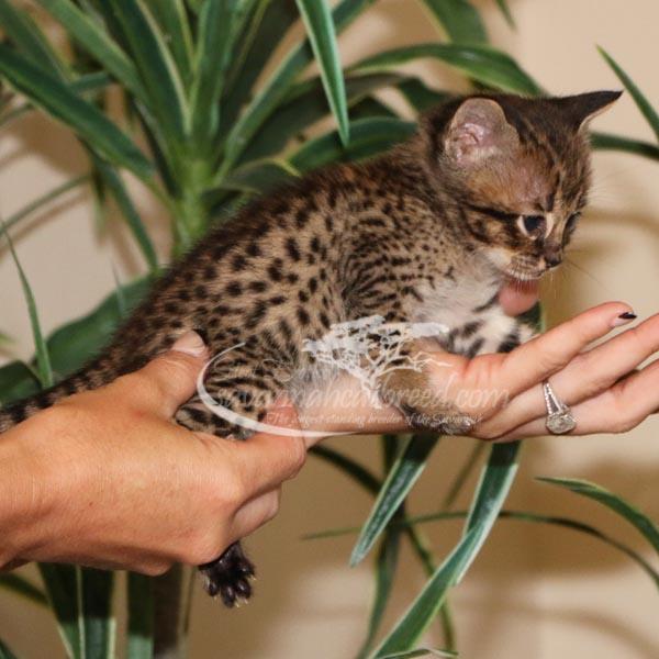 F3 Savannah kitten for Sale