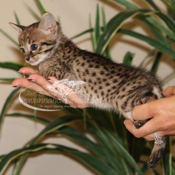 aF3 Savannah kitten for Sale
