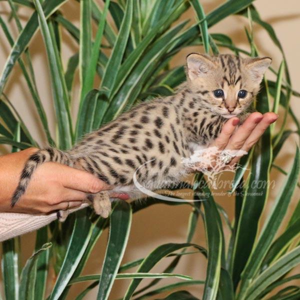 F1 Savannah Kitten for Sale